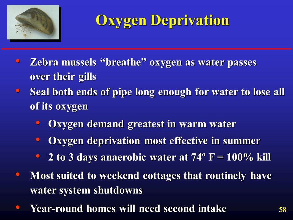 Oxygen Deprivation Zebra mussels breathe oxygen as water passes over their gills.