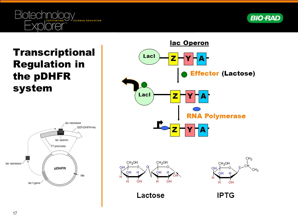 Transcriptional Regulation in the pDHFR system