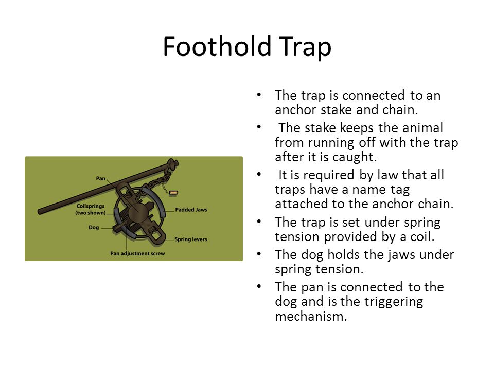 Foothold Trap The trap is connected to an anchor stake and chain.