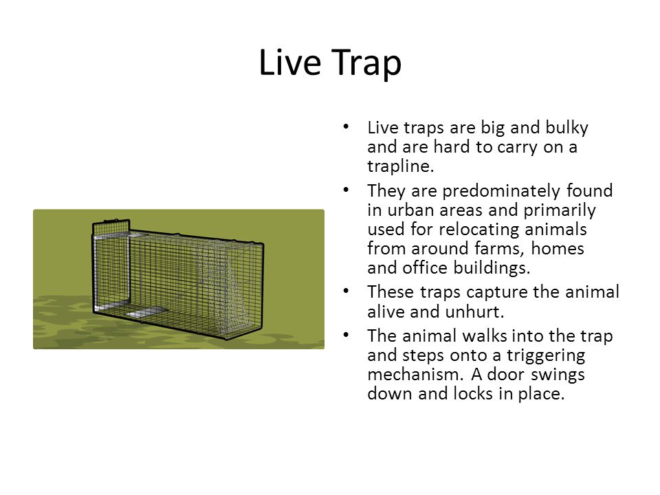 Live Trap Live traps are big and bulky and are hard to carry on a trapline.