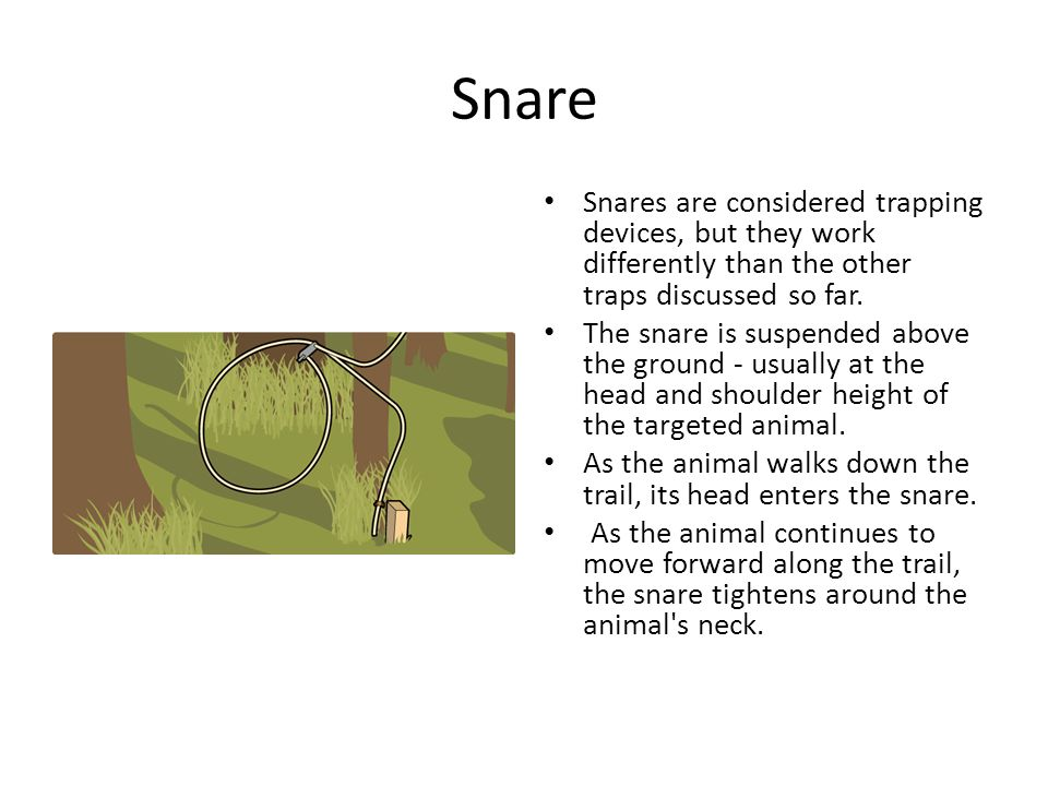 Snare Snares are considered trapping devices, but they work differently than the other traps discussed so far.