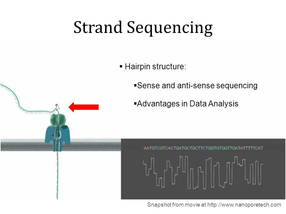 Strand Sequencing Hairpin structure: Sense and anti-sense sequencing