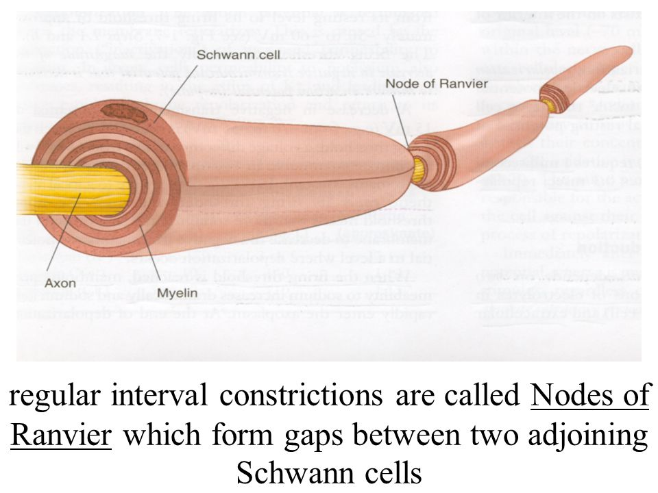 regular interval constrictions are called Nodes of Ranvier which form gaps between two adjoining Schwann cells