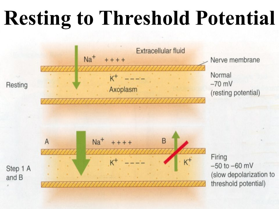 Resting to Threshold Potential