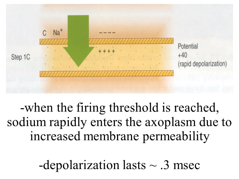 -when the firing threshold is reached, sodium rapidly enters the axoplasm due to increased membrane permeability -depolarization lasts ~ .3 msec