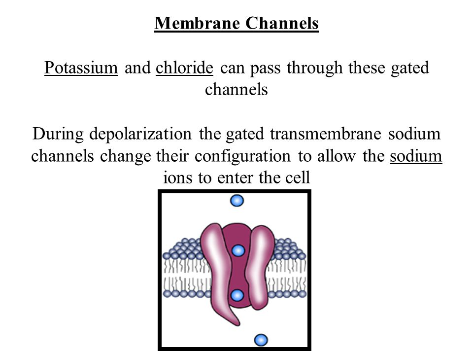 Membrane Channels Potassium and chloride can pass through these gated channels During depolarization the gated transmembrane sodium channels change their configuration to allow the sodium ions to enter the cell