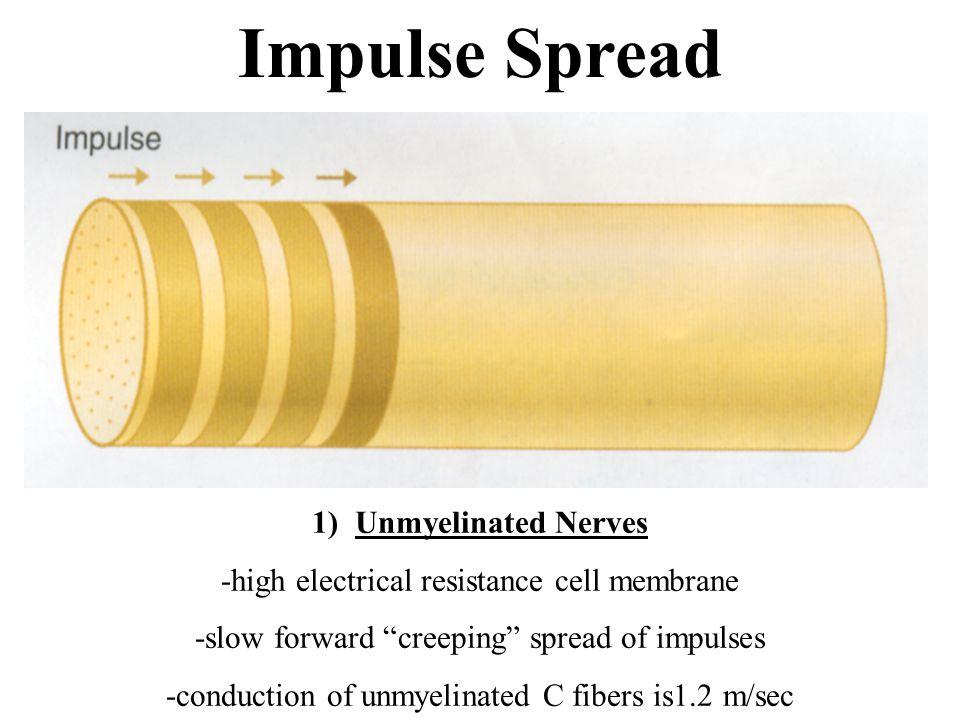 Impulse Spread 1) Unmyelinated Nerves