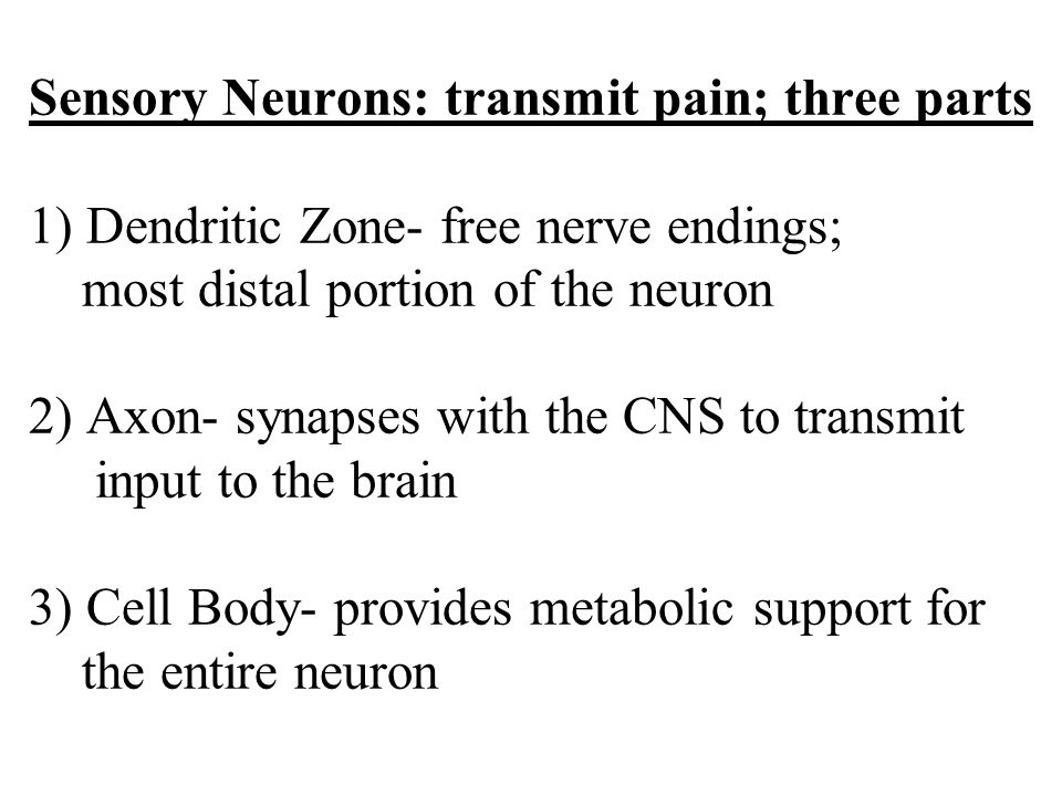 Sensory Neurons: transmit pain; three parts 1) Dendritic Zone- free nerve endings; most distal portion of the neuron 2) Axon- synapses with the CNS to transmit input to the brain 3) Cell Body- provides metabolic support for the entire neuron