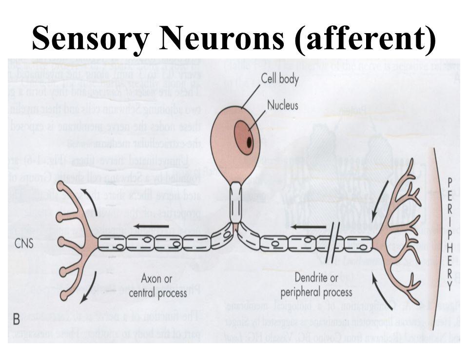 Sensory Neurons (afferent)