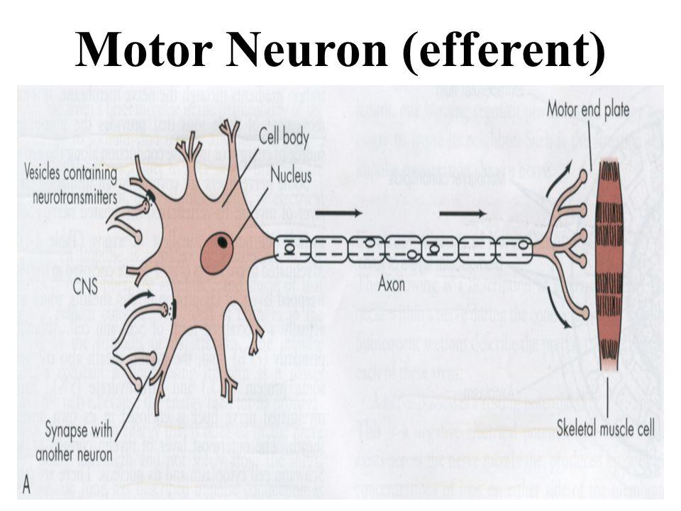 Motor Neuron (efferent)