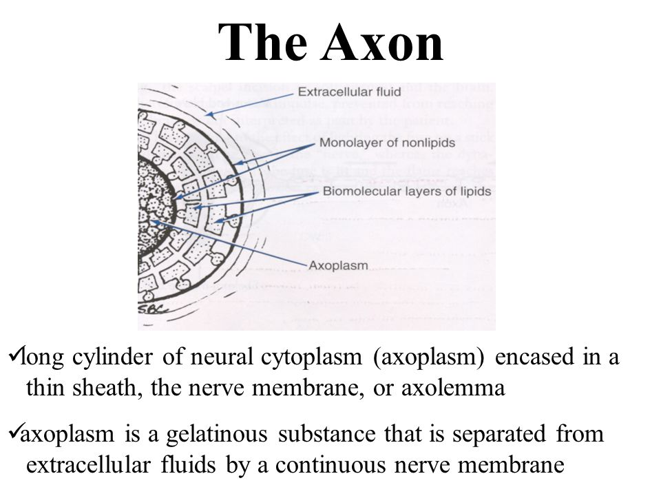 The Axon long cylinder of neural cytoplasm (axoplasm) encased in a