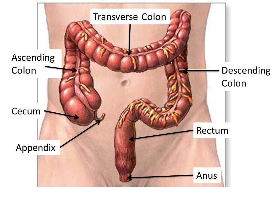 Transverse Colon Ascending Colon Descending Colon Cecum Rectum Appendix Anus