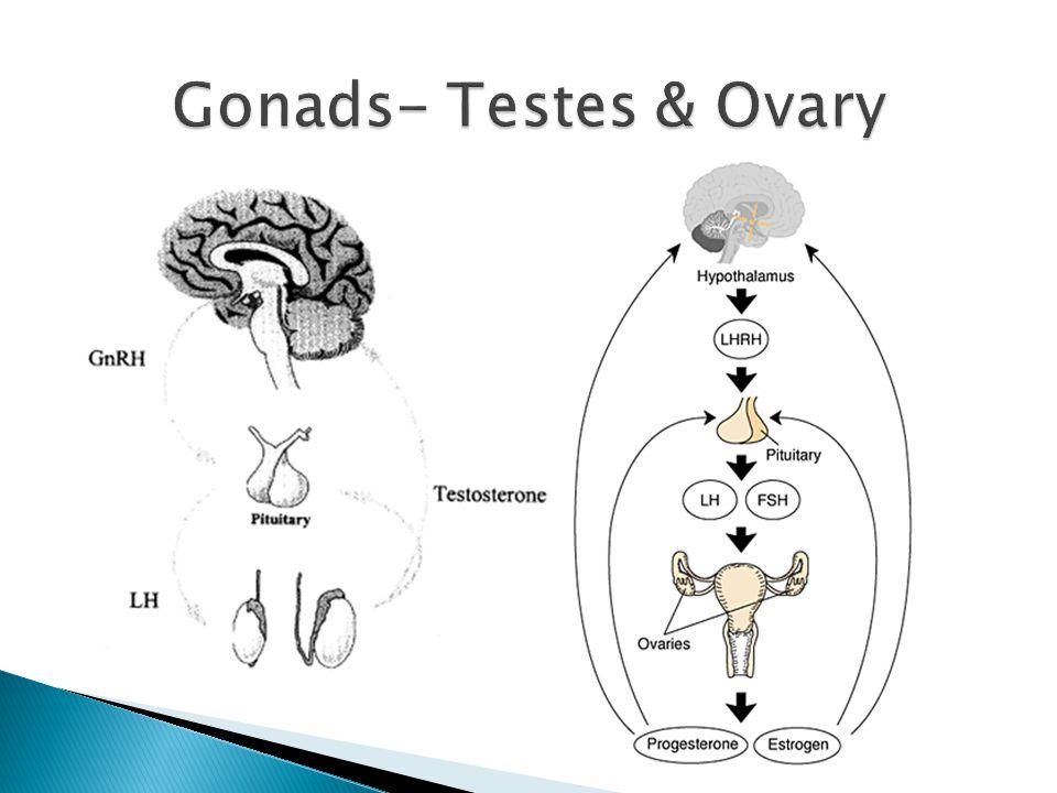 Gonads- Testes & Ovary