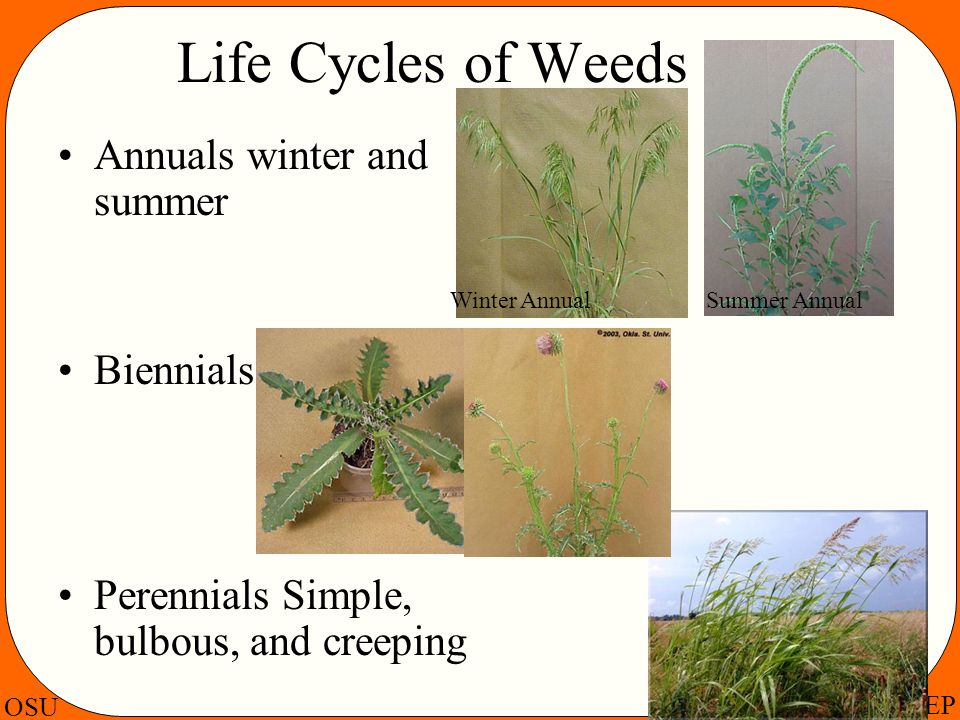Life Cycles of Weeds Annuals winter and summer Biennials