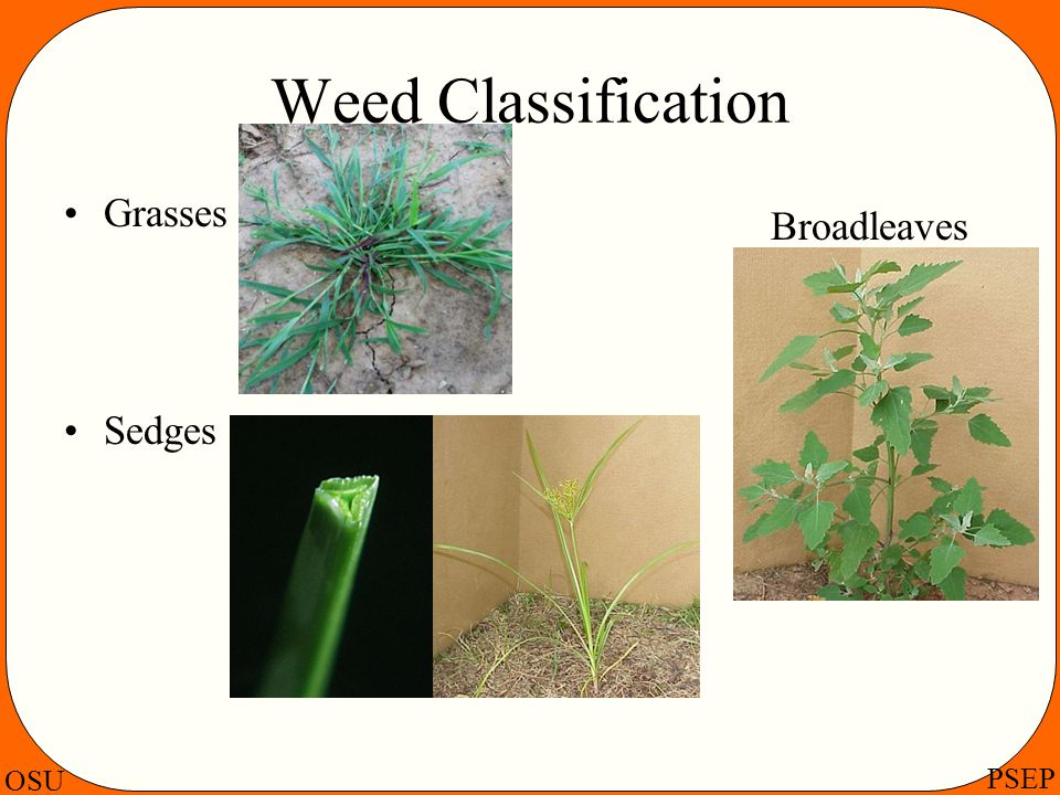Weed Classification Grasses Sedges Broadleaves