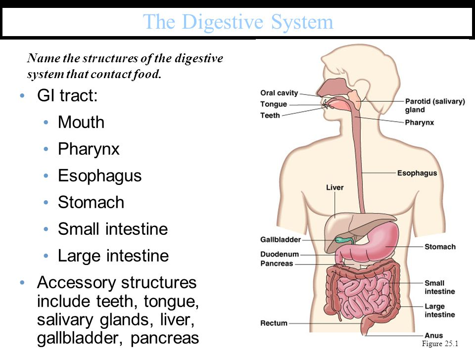 The Digestive System GI tract: Mouth Pharynx Esophagus Stomach