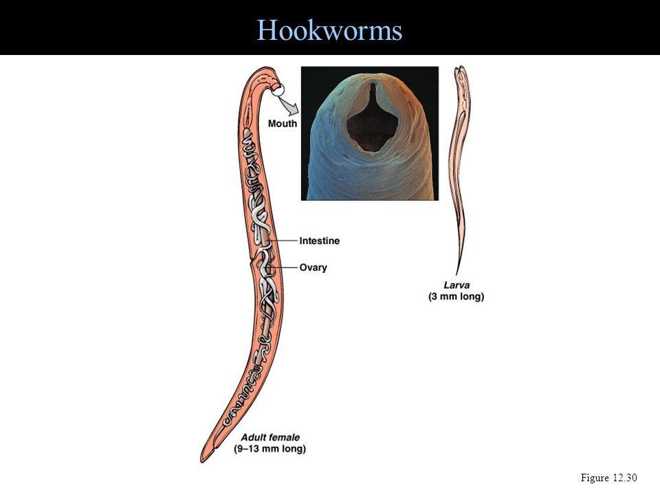 Hookworms Figure 12.30
