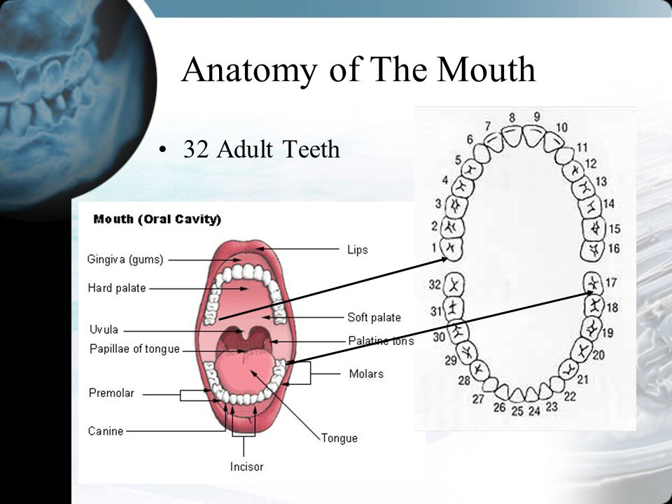 Anatomy of The Mouth 32 Adult Teeth