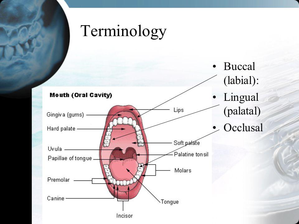 Terminology Buccal (labial): Lingual (palatal) Occlusal