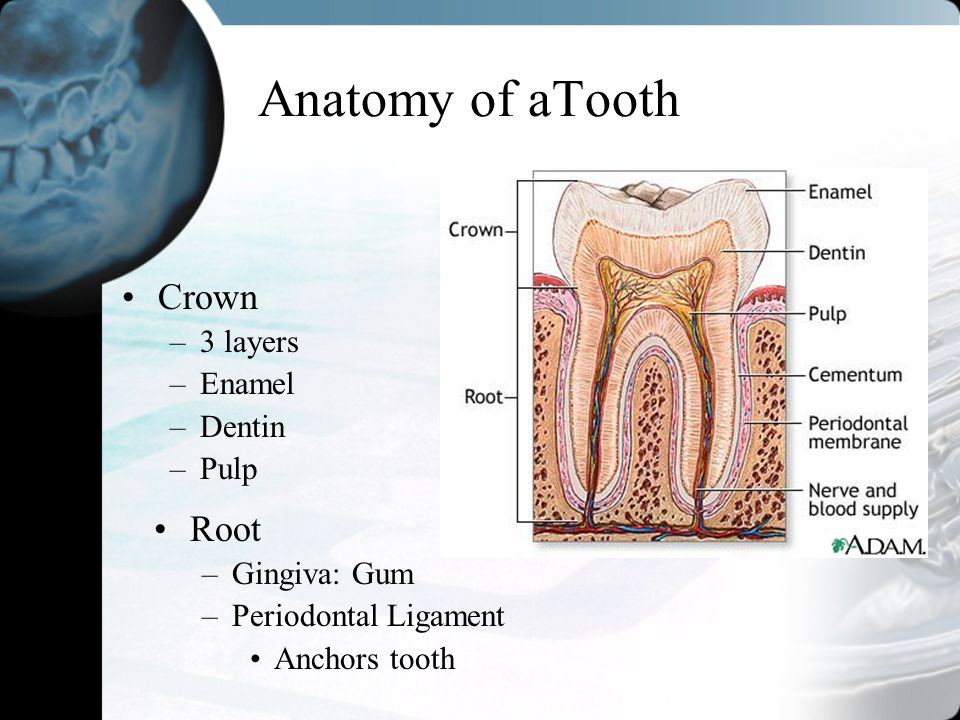 Anatomy of aTooth Crown Root 3 layers Enamel Dentin Pulp Gingiva: Gum