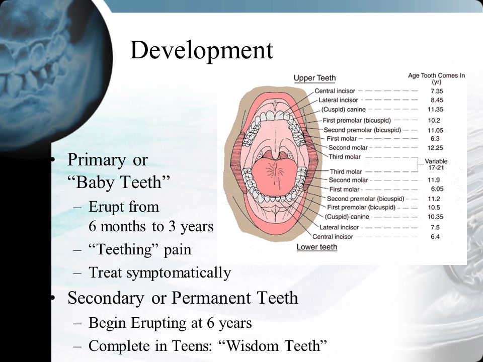 Development Primary or Baby Teeth Secondary or Permanent Teeth