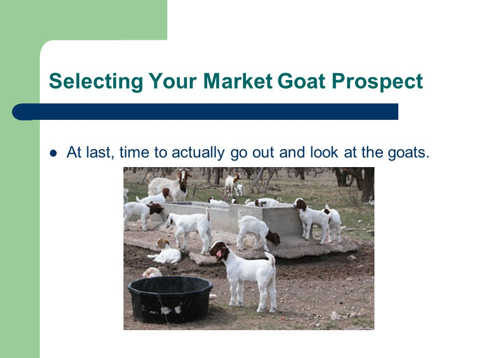 Selecting Your Market Goat Prospect