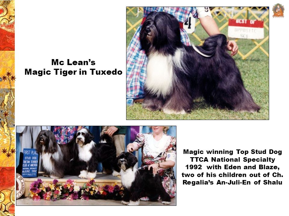 Mc Lean's Magic Tiger in Tuxedo