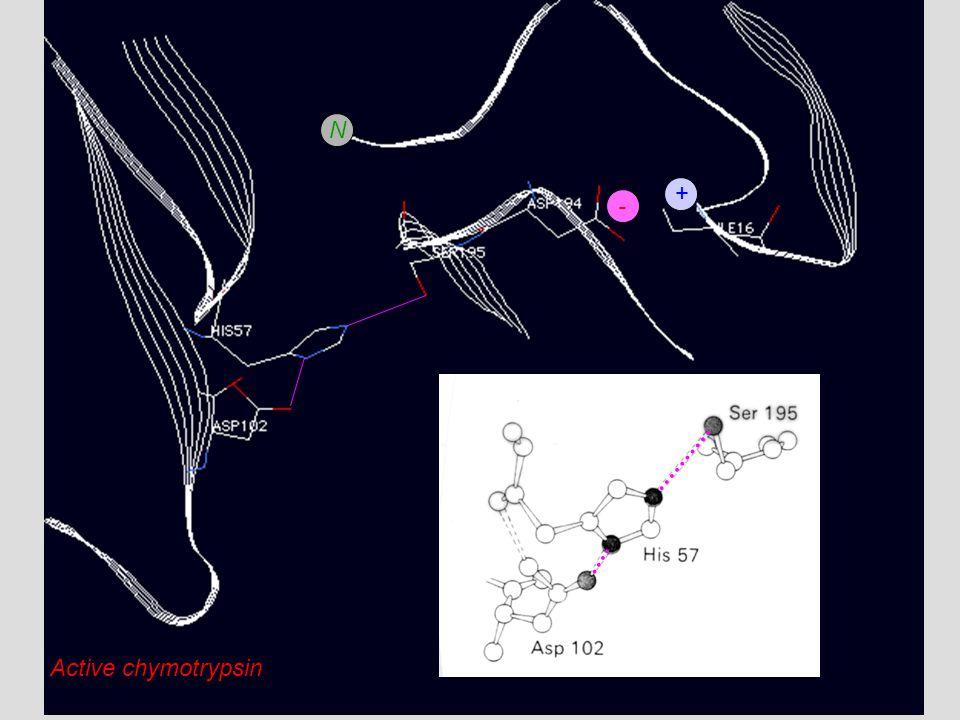 N + - Active chymotrypsin