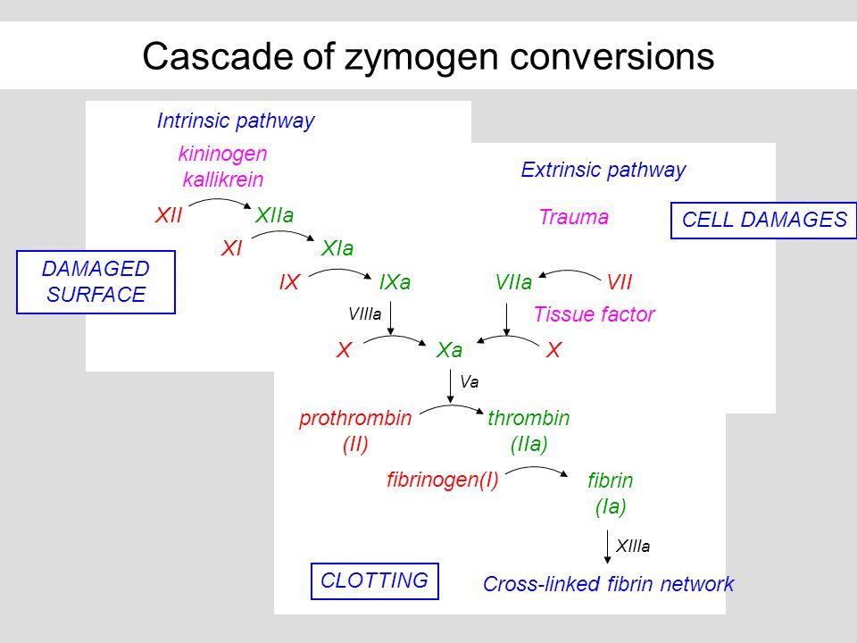 Cascade of zymogen conversions