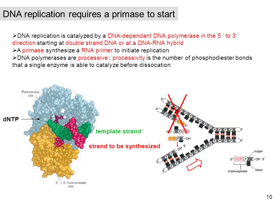 DNA replication requires a primase to start