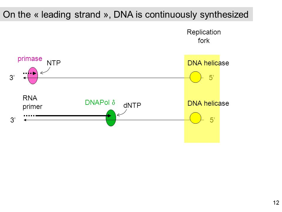 On the « leading strand », DNA is continuously synthesized