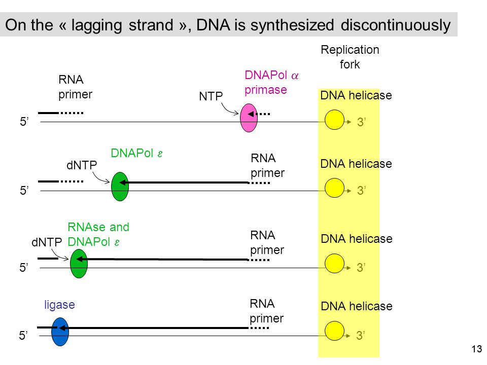On the « lagging strand », DNA is synthesized discontinuously
