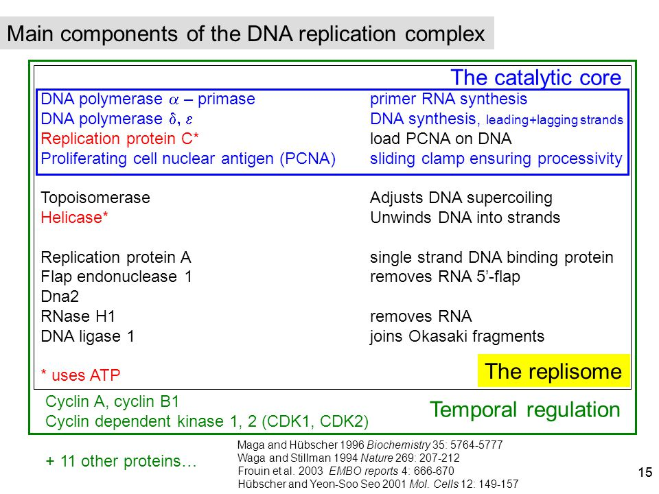 Main components of the DNA replication complex