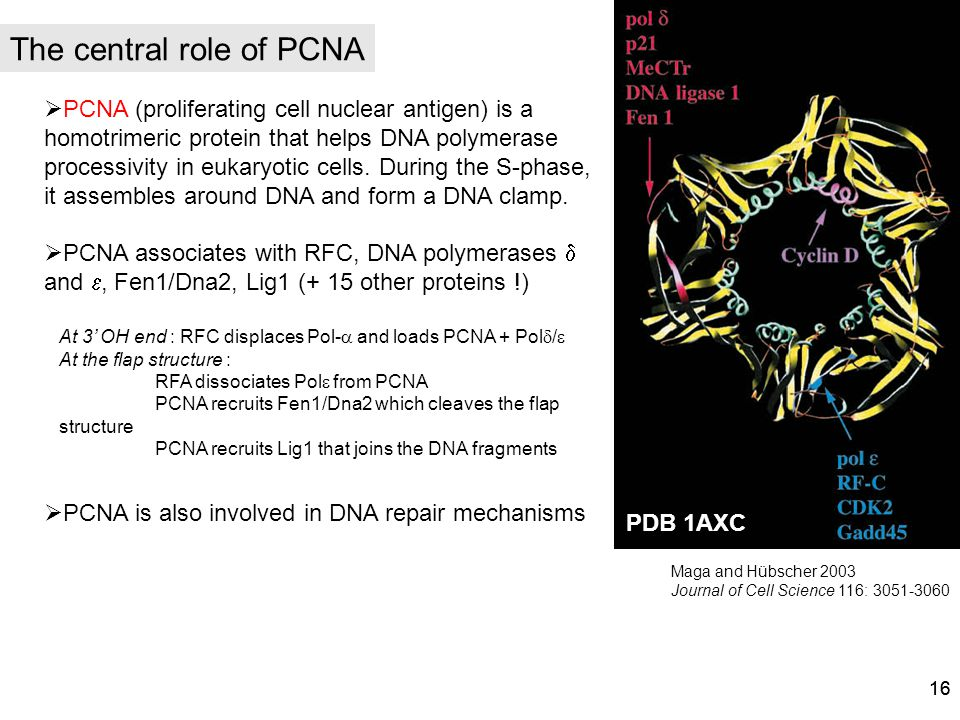 The central role of PCNA