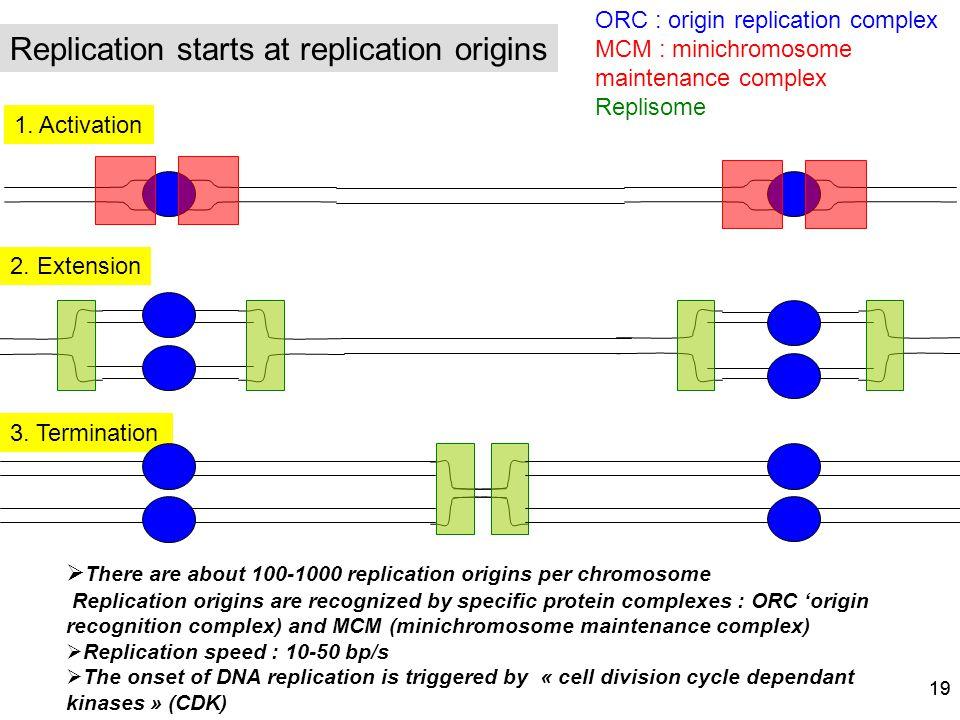 Replication starts at replication origins