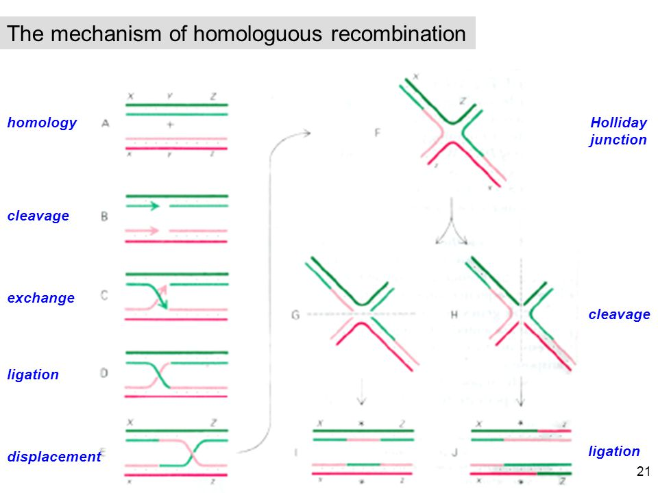 The mechanism of homologuous recombination