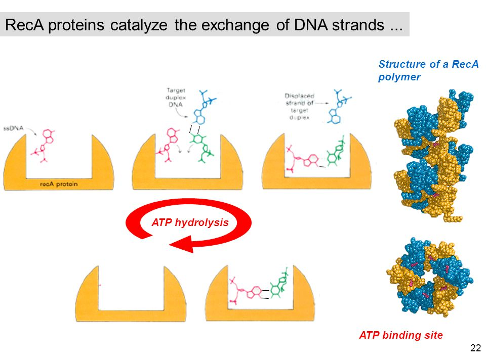 RecA proteins catalyze the exchange of DNA strands ...