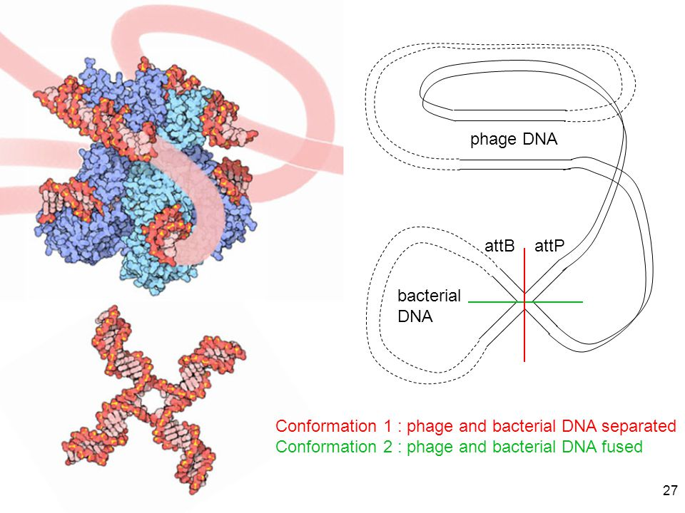 phage DNA attB. attP. bacterial DNA. Conformation 1 : phage and bacterial DNA separated.