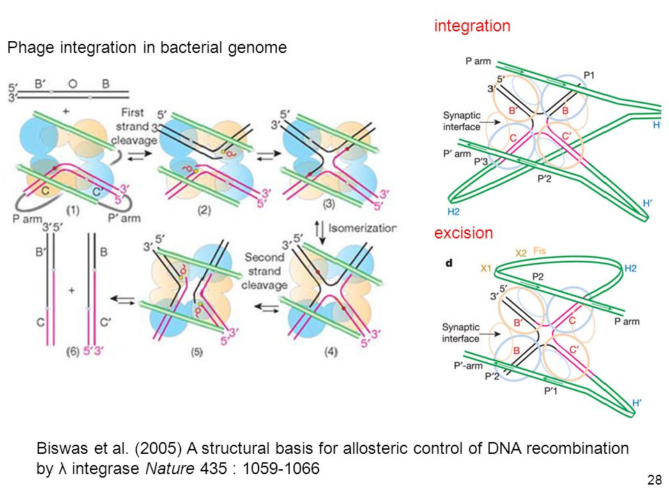 integration Phage integration in bacterial genome. excision.