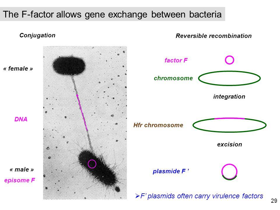The F-factor allows gene exchange between bacteria