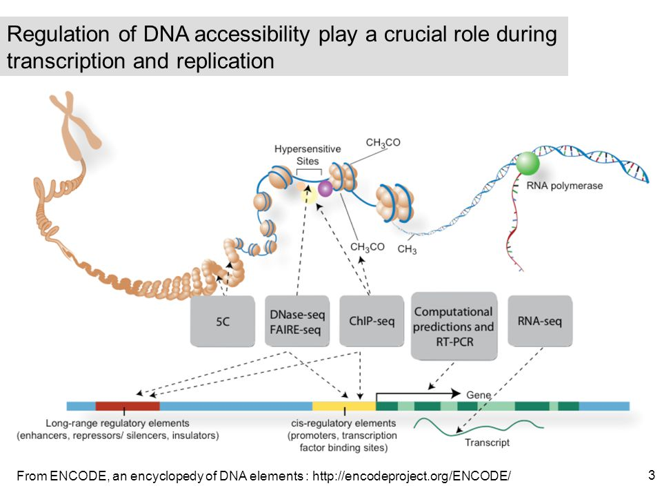 Regulation of DNA accessibility play a crucial role during transcription and replication