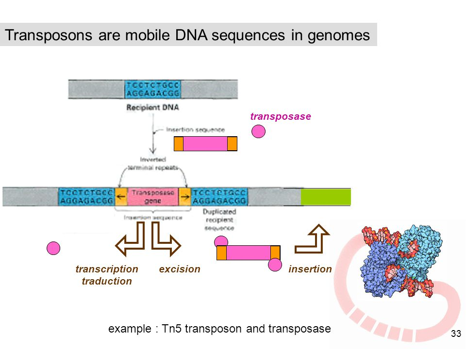 Transposons are mobile DNA sequences in genomes