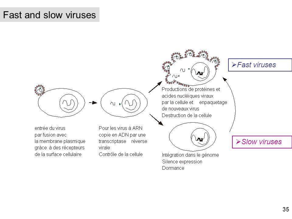 Fast and slow viruses Fast viruses Slow viruses