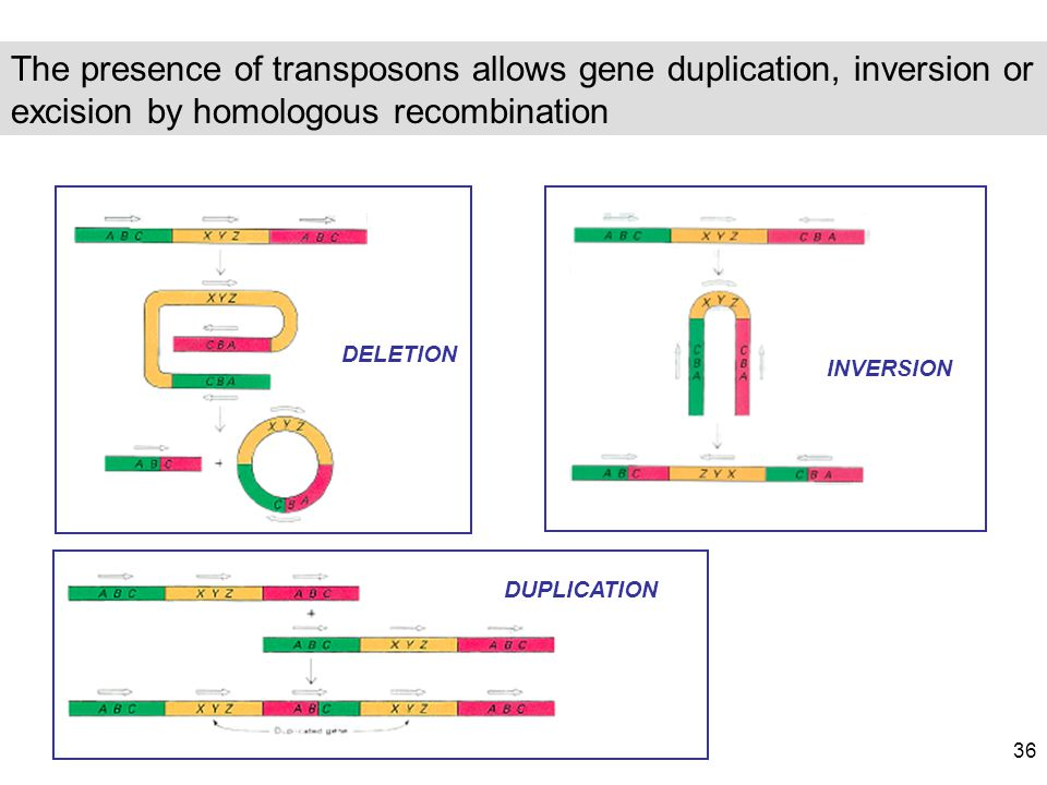 The presence of transposons allows gene duplication, inversion or excision by homologous recombination