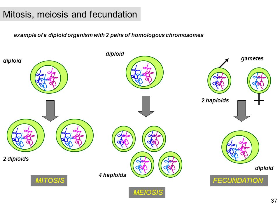 Mitosis, meiosis and fecundation