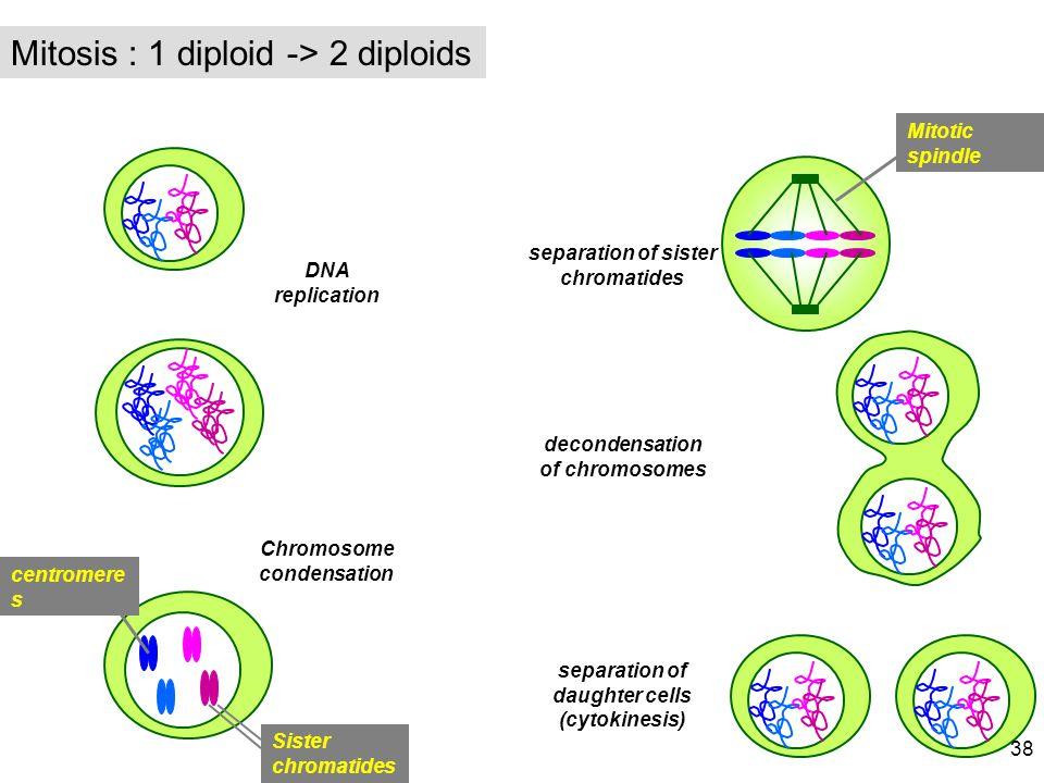 Mitosis : 1 diploid -> 2 diploids