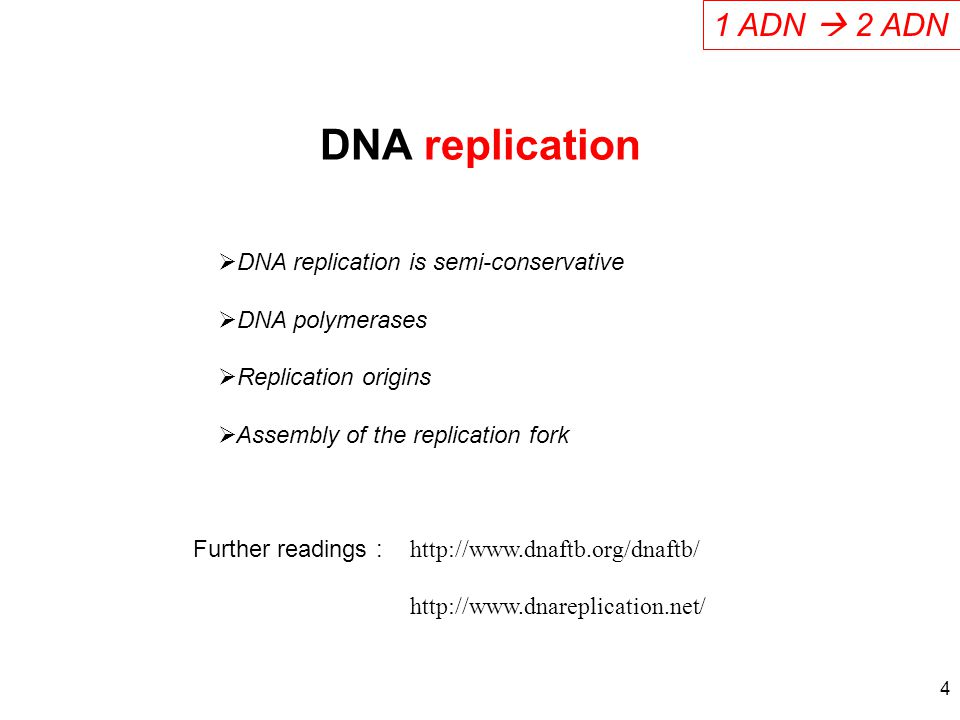 DNA replication 1 ADN  2 ADN DNA replication is semi-conservative