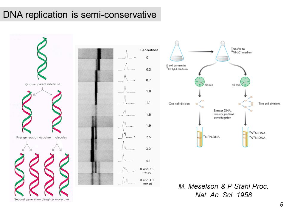 M. Meselson & P Stahl Proc. Nat. Ac. Sci. 1958