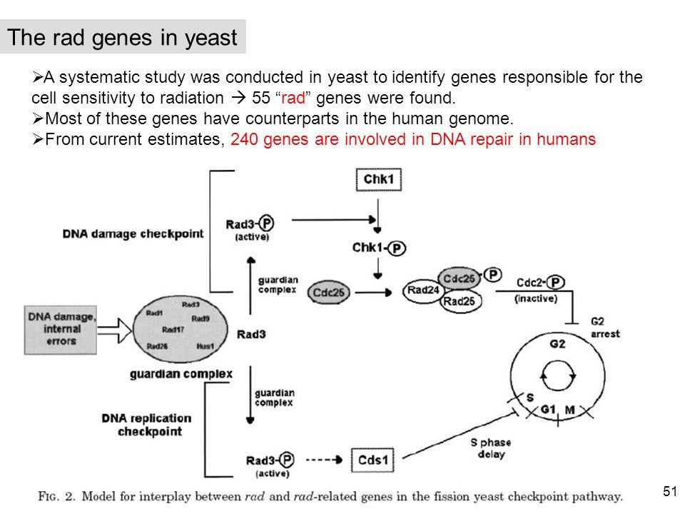 The rad genes in yeast