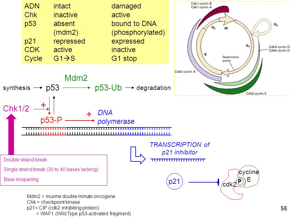 TRANSCRIPTION of p21 inhibitor
